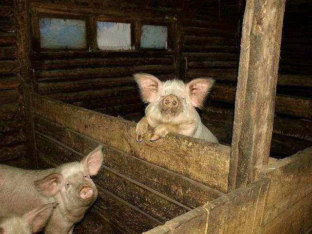 Як збудувати свинарник