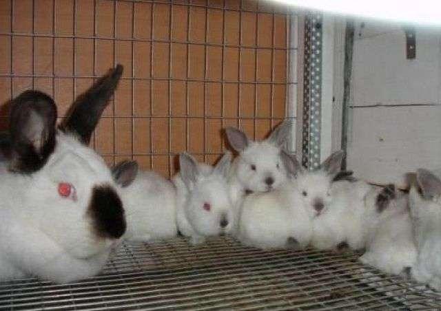 Як побудувати клітку для кроликів